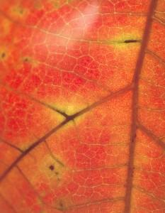 Orange Leaf 2