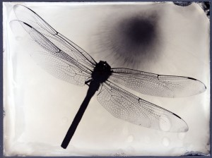 Dragonfly tintype