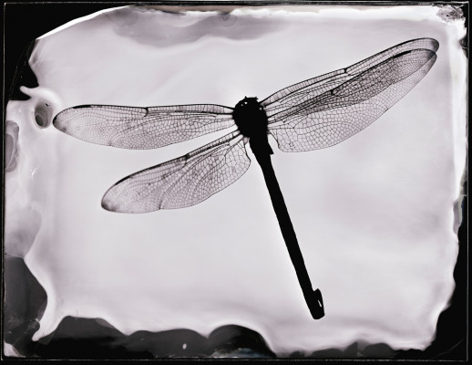 Dragonfly - unique photogram on glass plate -  collodion wet plate - available as limited edition  pigment inkjet print in various sizes