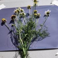 Field Grasses Lumen Print